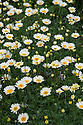 Anthemis tinctoria 'Sauce Hollandaise', early August. A perennial with creamy-white-petalled, daisy-like flowers with a darker yellow centre in midsummer. Sometimes known as Dyer's Chamomile.