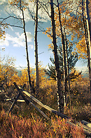 Split-rail fence in aspen grove, Antelope Flats, Wyoming, vertical