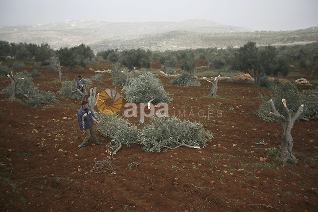 A Palestinian man carries a branch of an olive tree farmers say was cut overnight by Jewish settlers, in the northern West Bank village of Doma ner nablus , Feb. 20, 2011 . Photo by Wagdi Eshtayah