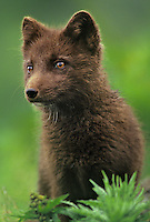 630650336v portrait of a wild chocolate brown phase of arctict fox alopex lagopus found on st george island pribilofs alaska
