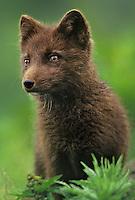 630650336v portrait of a wild chocolate brown phase of arctict fox alopex lagopus found on st george island pribilofs alaska