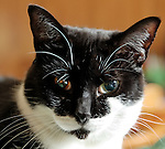 Black and White American Shorthair cat, Hillary, 1 1/2 years old, indoors. One brown eye, one green eye