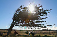Gregg Bleakney takes a lunch break behind the shelter of a windblown Lengas tree. Tierra del Fuego - Chile - South America