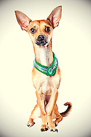 Sacramento city animal shelter chihuahua gets his photo taken.