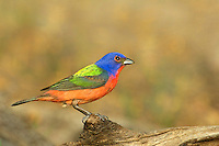 510440130 a wild male painted bunting passerina ciris perches on large log in the rio grande valley of south texas