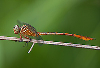341730005 a wild female narrow-striped forceptail aphylla protracta perches on a small twig at santa ana national wildlife refuge in the rio grande valley of south texas