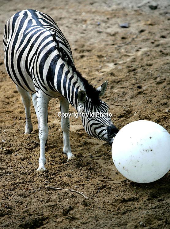 Foto: VidiPhoto..RHENEN - De nieuwste vorm van 'doe-voer' In Ouwehands Dierenpark in Rhenen, is een bal waar de zebra's tegenaan moeten schoppen of duwen om hun voedsel te krijgen. Als de bal beweegt valt er voer uit. Zo lijkt het alsof de dieren een voetbalwedstrijd spelen. Woensdagmiddag konden de zebra's zich uitleven op de bal. Ouwehands Dierenpark is één van de meest actieve en creatieve dierenparken in Nederland als het gaat om verrijking en het bevorderen van natuurlijk gedrag.