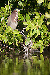 Ding Darling National Wildlife Refuge, Sanibel Island, Florida; a Green Heron (Butorides virescens) stands perched on a mangrove branch, just above the water's surface © Matthew Meier Photography, matthewmeierphoto.com All Rights Reserved