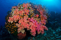 A blue-spotted coral grouper hovers among vibrant soft corals and schooling anthias fish, typical scenery at Fiji's Vatu-I-Ra region. Fiji, Pacific Ocean