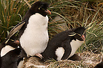 Two rockhopper penguins on their nest with their chick in West Point Island in the Falkland Islands.