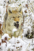 Coyote eating a freshly caught vole