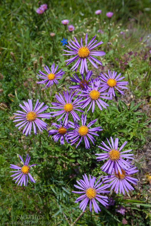 Alpine Aster {Aster alpinus}, Aosta Valley, Monte Rosa Massif, Pennine Alps, Italy. July.