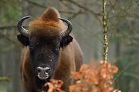 European bison, Poland