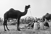 A view of the camel fair of Pushkar. Rajashan, India.