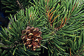 Sierra Lodgepole Pine (Pinus contorta murrayana), Sierra Nevada Range, California, USA