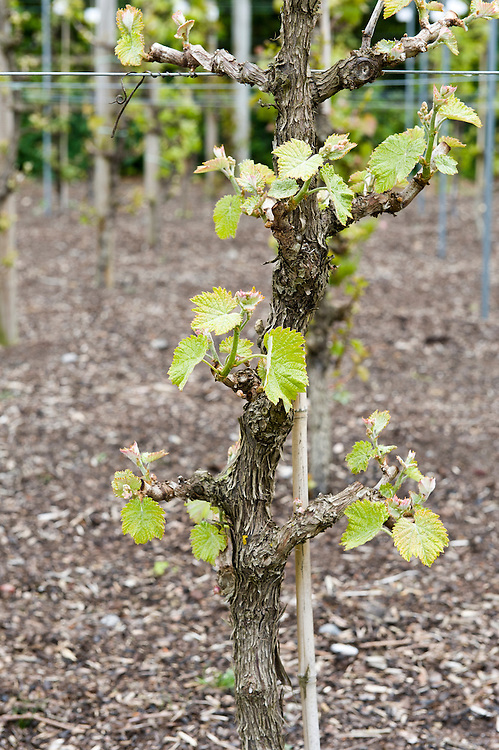 how to tell the age of a grape vine