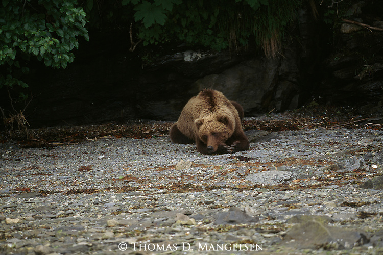 grizzly bear resting in - photo #35