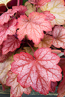 Heuchera 'Georgia Peach' perennial foliage plant