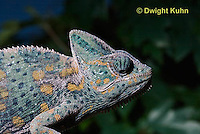 CH51-682z  Female Veiled Chameleon in display color, Chamaeleo calyptratus