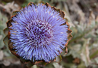 A flowering globe artichoke seen from the top.  Artichokes are thistles; the bracts of the flower can be seen beneath the