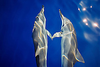 Hawaiian spinner dolphins, Stenella longirostris longirostris, communicating to each other by touching pectoral fins while bow riding, Kona Coast, Big Island, Hawaii, USA, Pacific Ocean