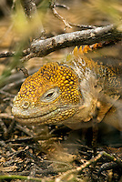 "It is estimated that are nearly10,000 land iguanas are found in the Galápagos. Because fresh water is scarce in the Galápagos Islands, land iguana obtain the majority of their moisture from the prickly-pear cactus that accounts for 80% of its diet. Charles Darwin called them ""ugly animals, of a yellowish orange beneath, and of a brownish-red colour above: from their low facial angle they have a singularly stupid appearance.""."