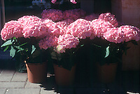 FLOWERING TREES AND SHRUBS.Pink Hydrangea In Basic Soil.Hydrangeas flower color varies according to the soil's pH