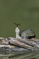 Yellow Mud Turtle (Kinosternon flavescens), adult sunning on log with dragonfly perched on its nose, Starr County, Rio Grande Valley, Texas, USA