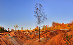 Lone tree growing on red eroded clay soil. Beautiful colorful fall scenery. Cheltenham Badlands Ontario Canada
