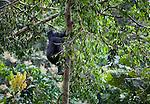 Mountain gorilla(s), Rwanda