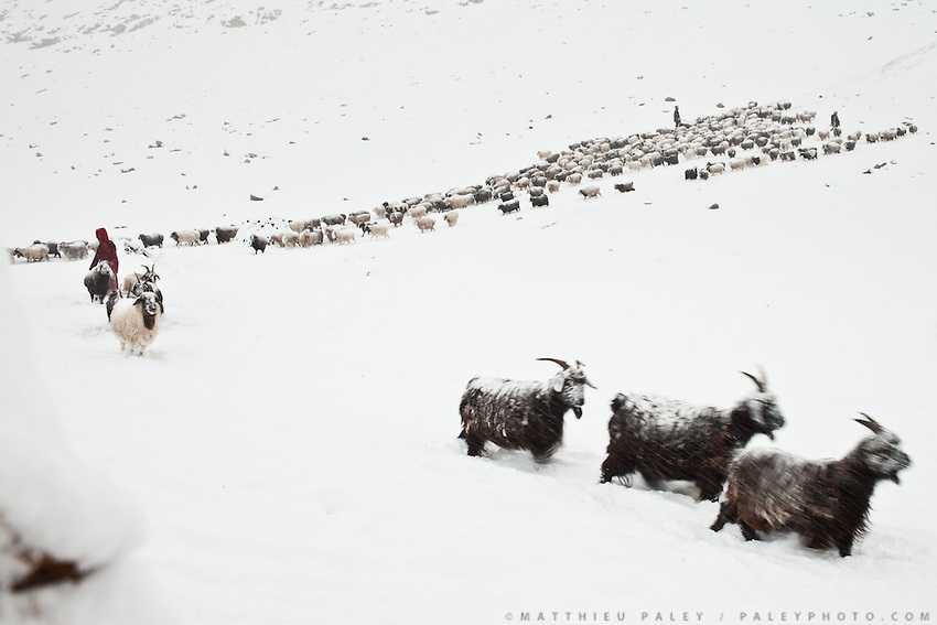 The sheep and goat herd returning to camp. Ech Keli, Er Ali Boi's camp, one of the richest Kyrgyz in the Little Pamir...Trekking with yak caravan through the Little Pamir where the Afghan Kyrgyz community live all year, on the borders of China, Tajikistan and Pakistan.