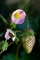 The pink-flowered strawberry (Fragaria x ananassa 'Pink Panda)