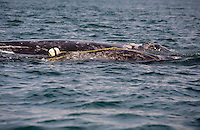pr5307-D. Gray Whales (Eschrichtius robustus), mother and calf. Note that the calf (in front) is entangled in a lobster trap line. The rope is caught in mouth and baleen. This whale was extremely agitated, swimming erratically and breaching repeatedly, no doubt in pain and confused by its entanglement. San Ignacio Lagoon, Baja, Mexico..Photo Copyright © Brandon Cole. All rights reserved worldwide.  www.brandoncole.com..This photo is NOT free. It is NOT in the public domain. This photo is a Copyrighted Work, registered with the US Copyright Office. .Rights to reproduction of photograph granted only upon payment in full of agreed upon licensing fee. Any use of this photo prior to such payment is an infringement of copyright and punishable by fines up to  $150,000 USD...Brandon Cole.MARINE PHOTOGRAPHY.http://www.brandoncole.com.email: brandoncole@msn.com.4917 N. Boeing Rd..Spokane Valley, WA  99206  USA.tel: 509-535-3489