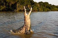 Spectacled Caiman (Caiman crocodilus) adult leaping with open mouth, Los Lianos, Venezuela