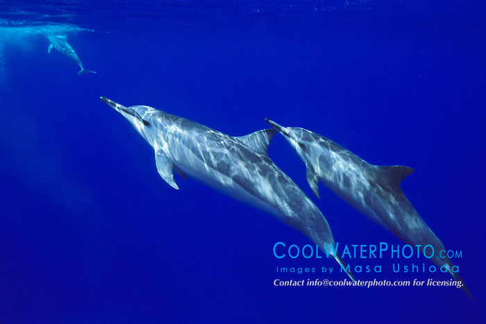long-snouted spinner dolphins, Stenella longirostris, Kealakekua Bay, Big Island, Hawaii, USA, Pacific Ocean