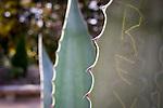 #pictureDukeFall<br /> Agave with Graffiti detail<br /> Photos in Sarah P. Duke Duke Gardens, November 14th 2014 as part of the Fall Gardens Photowalk