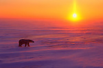 As the sun rises over the horizon, a male polar bear walks across the ice and snow to hunt for seals in Wapusk National Park, Manitoba, Canada.