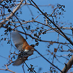 An American Robin in flight grabbing berries from a tree in late Novemeber