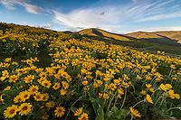 Yellow balsomroot wildflowers blanket the hillside of the Wasatch Mountains creating an amazingly scenic photograph.