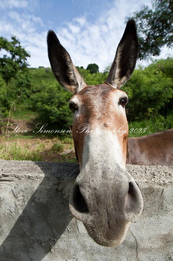 Donkeys at Zion Hill Methodist Church.Tortola, BVI