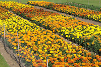 Marigold Tagetes trials showing different varieties