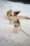 Siberian Husky's at a sled pull<br />
