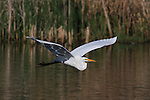 A Great Egret flies from its fishing grounds in a wetland near Lake Nokomis