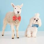201504 Lamb Goat Kitten