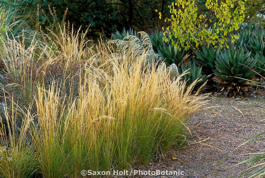 Aristida purpurea (Purple Three -Awn, Triple-Awn) California native grass, flowering by path in naturalistic garden