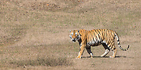 My first wild tiger, which appeared briefly at a distance in Kanha National Park.
