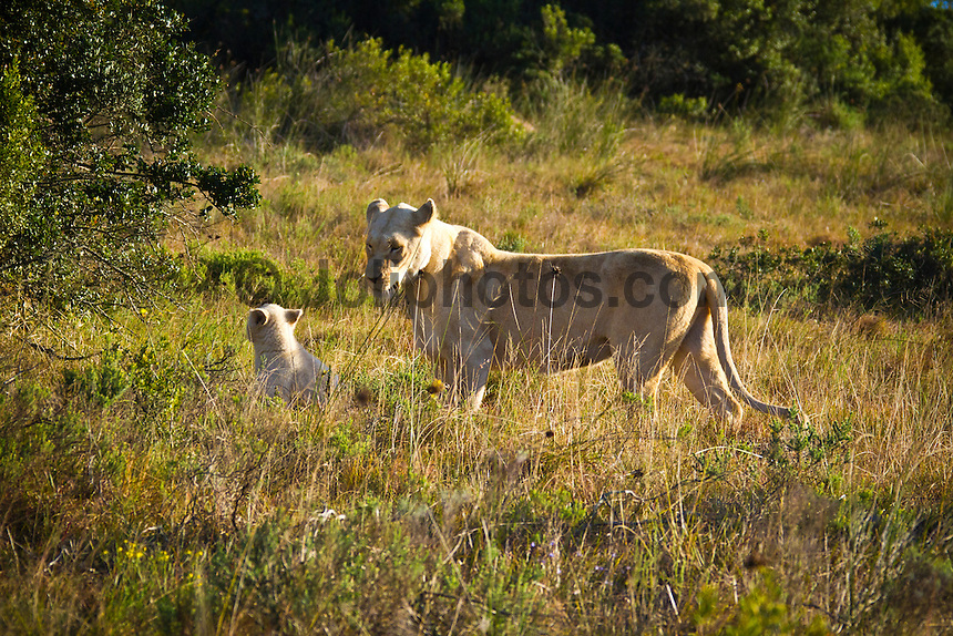Pumba Game Reserve, Eastern Cape, South Africa. Saturday July 30 2011. One of two white lion cubs plays with it's mother.  the two month old cubs were born at Pumba to both parents white white genes. Pumba Private Game Reserve is the third largest privately owned game reserve in the Eastern cape covering five of the seven African biomes. It is home to the  Africa's Big Five  and the rare White Lion. Photo: joliphotos.com