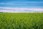 Idaho, North Central, Grangeville. Crop of canola under a dawn sky in spring.