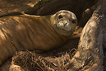 Close-up of a Hawaiian monk seal resting in the shade under a tree in Kauai, Hawaii.