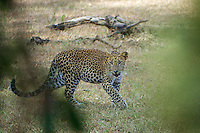The elusive and rare Sri Lankan leopard (Panthera pardus kotiya) is a leopard subspecies native to Sri Lanka. Classified as Endangered by IUCN, the population is believed to be declining due to numerous threats including poaching for trade and human-leopard conflicts. No subpopulation is larger than 250 individuals